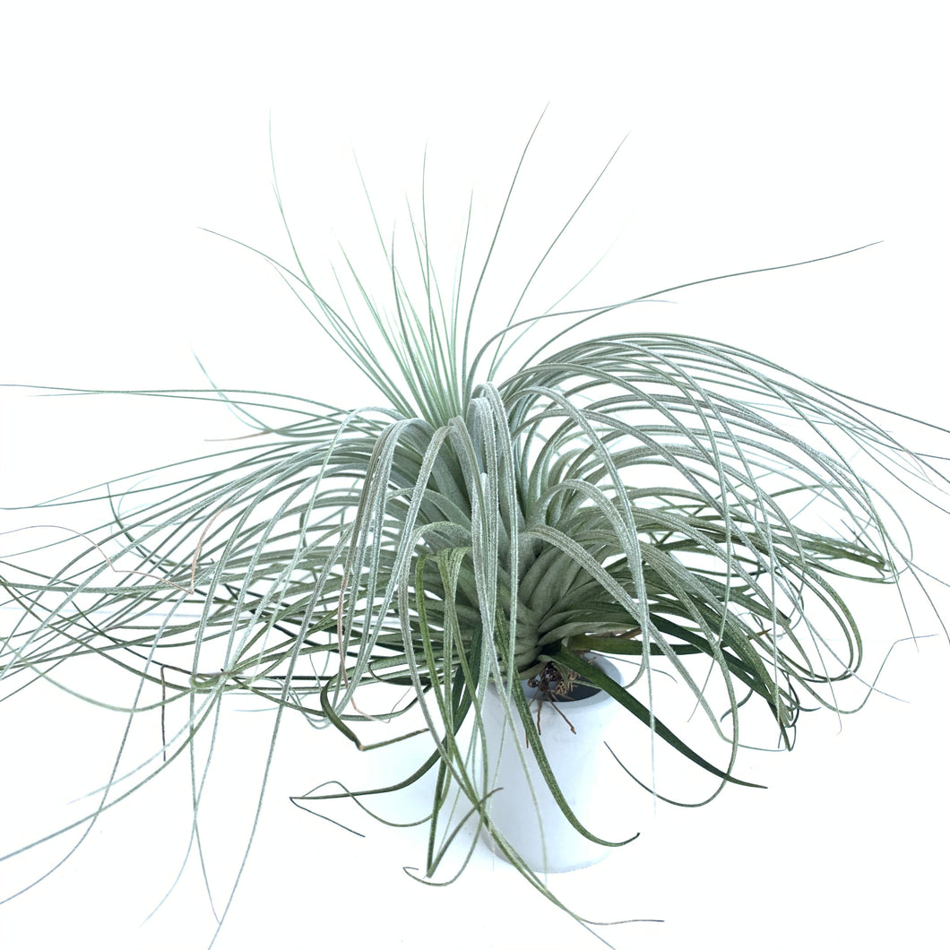 Tillandsia malyi (likely mislabeled)