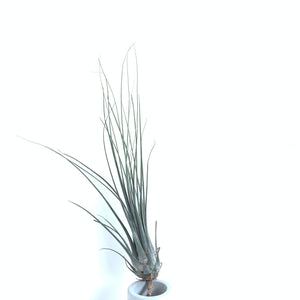 Tillandsia disticha major