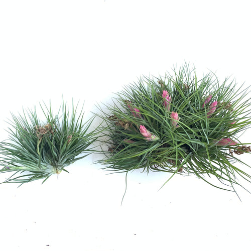 Tillandsia stricta clumps