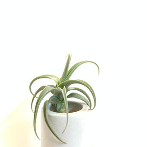 Tillandsia streptocarpa Fat Boy