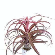 Tillandsia Eric Knobloch Red Form