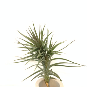 Tillandsia araujei purple star