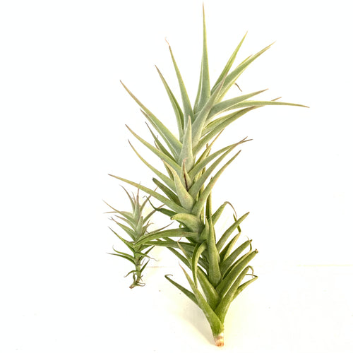 Tillandsia purpurea enano 'Shooting Star'
