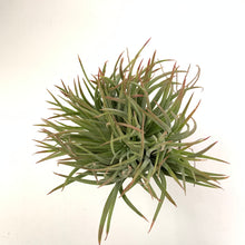 Tillandsia ionantha Big Boy crested form