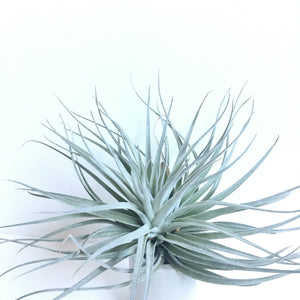 Tillandsia houston 'cotton candy'
