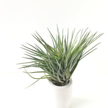 Tillandsia houston 'green compact'
