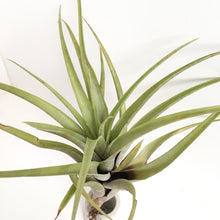 Tillandsia flexuosa (Northern Range)