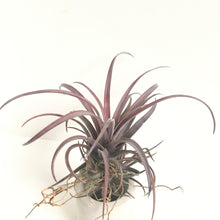 Tillandsia capitata v. Domingensis