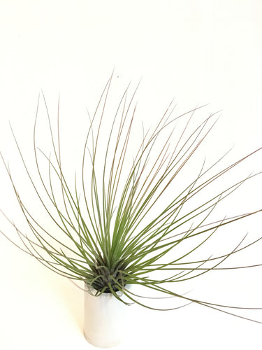 Tillandsia juncifolia red hybrid