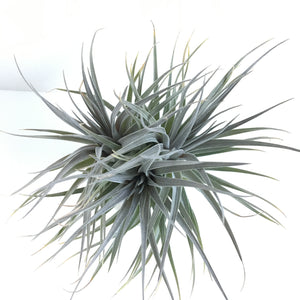 Tillandsia stricta fay gray