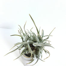 Tillandsia crocata (yellow flower)