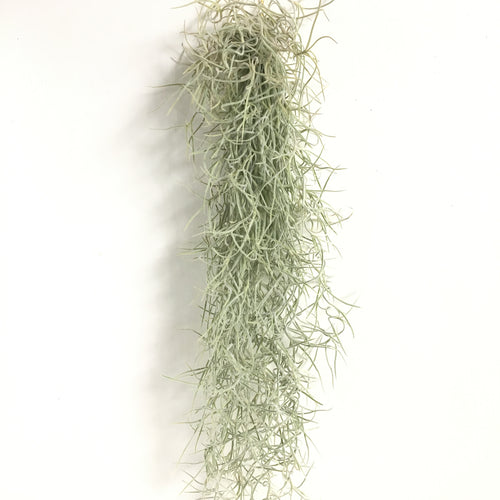 Tillandsia usneoides (thick leaf form)