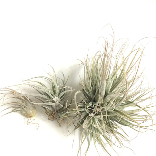 Tillandsia ehlersiana