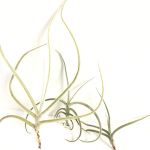 Tillandsia crocata 'copper penny'