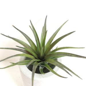 Tillandsia tenuifolia purple fan