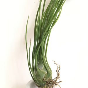 Tillandsia disticha green form