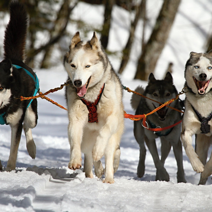 4 Things to Know Before Getting a Husky