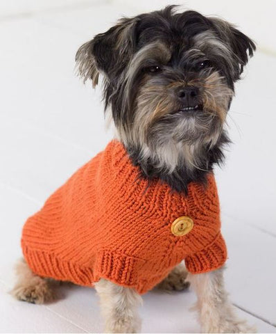 Yorkie wearing orange sweater with button in center.