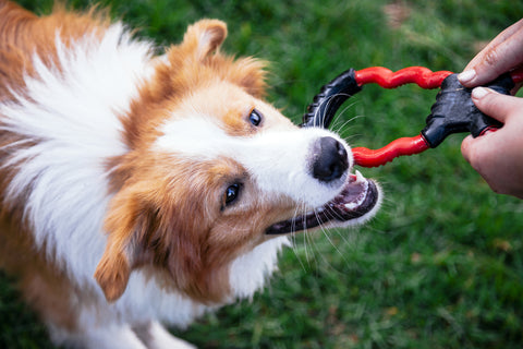 Long-haired Collie playing with owner; red and black tug toy.