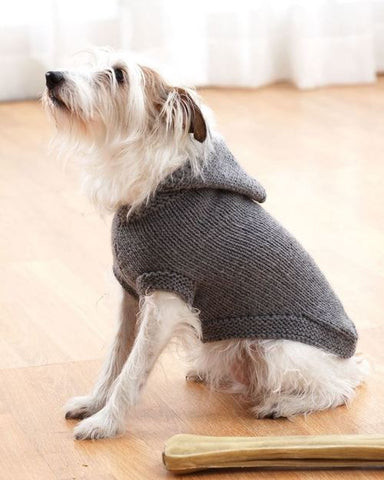 White Yorkie mix wearing a gray sweater with a hood.