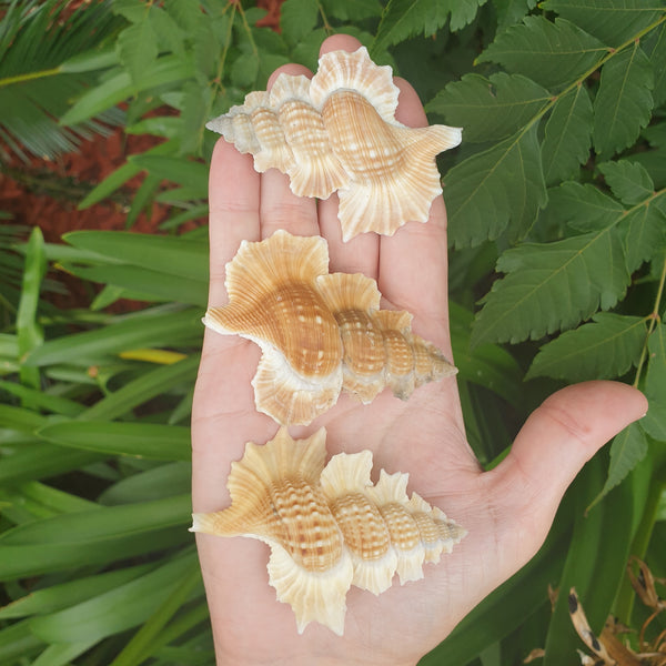 Winged Triton Shell
