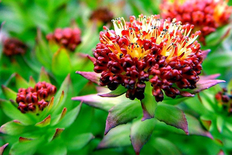 Rhodiola - Anti-Aging For The Brain