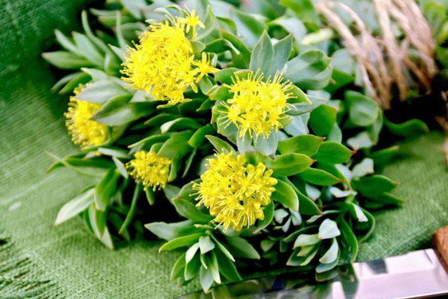 Rhodiola and Brain Inflammation