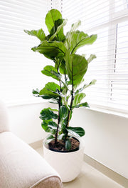 Fiddle Leaf Fig XL - Triple Stem