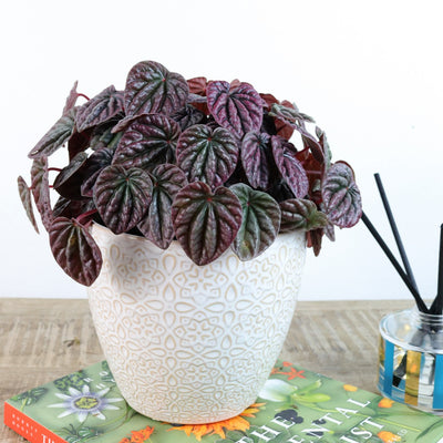 [Peperomia Blueberry swirl]