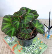 [Begonia 'Emerald Princess']