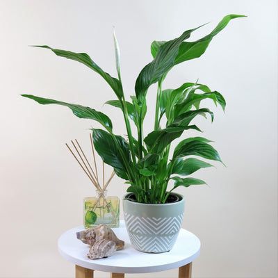 [Peace Lily]