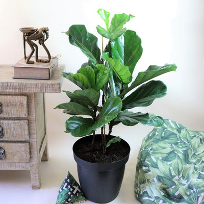 [Fiddle Leaf Fig - Triple Stem XL]