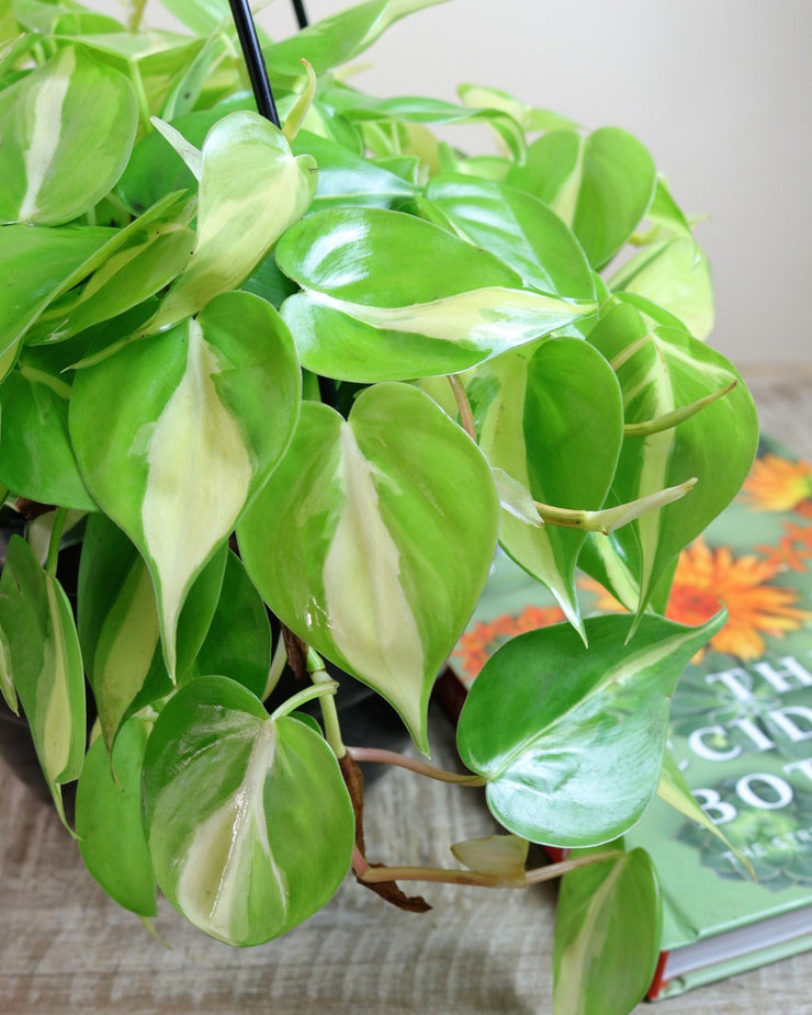 [Philodendron 'Brasil']