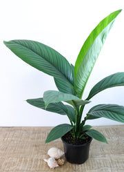 [Peace Lily - Large]