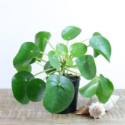 [Chinese Money Plant]