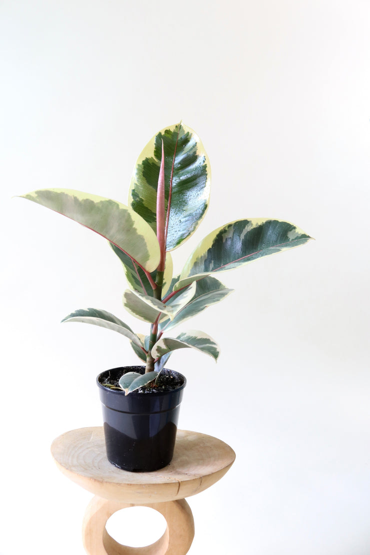 [Rubber Plant Tineke small]