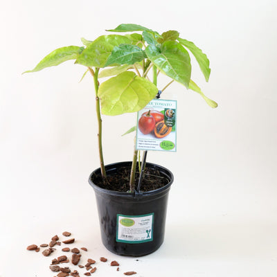 Tree tomato [Tamarillo]