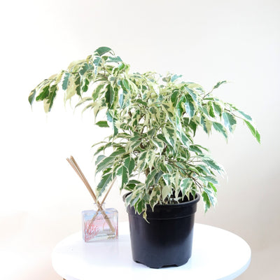 [Weeping Fig Tree - small]
