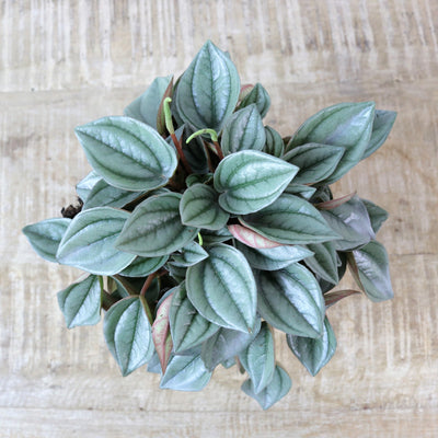 [Peperomia 'Napoli Nights']