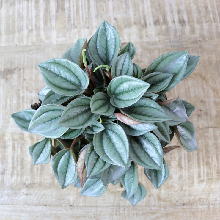 Peperomia Napoli Nights Atrium Plants