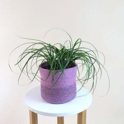 [Ponytail Palm - small]