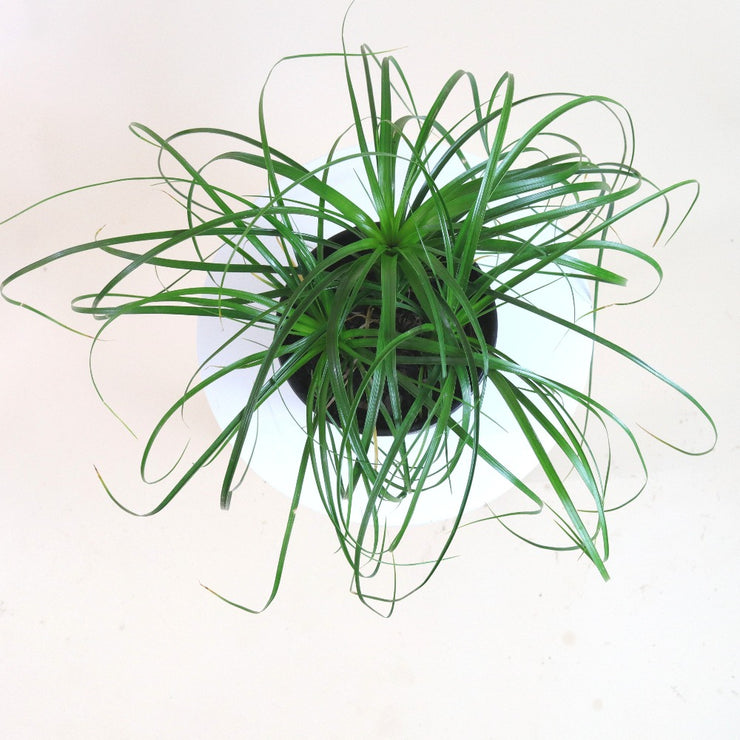 [Ponytail Palm]