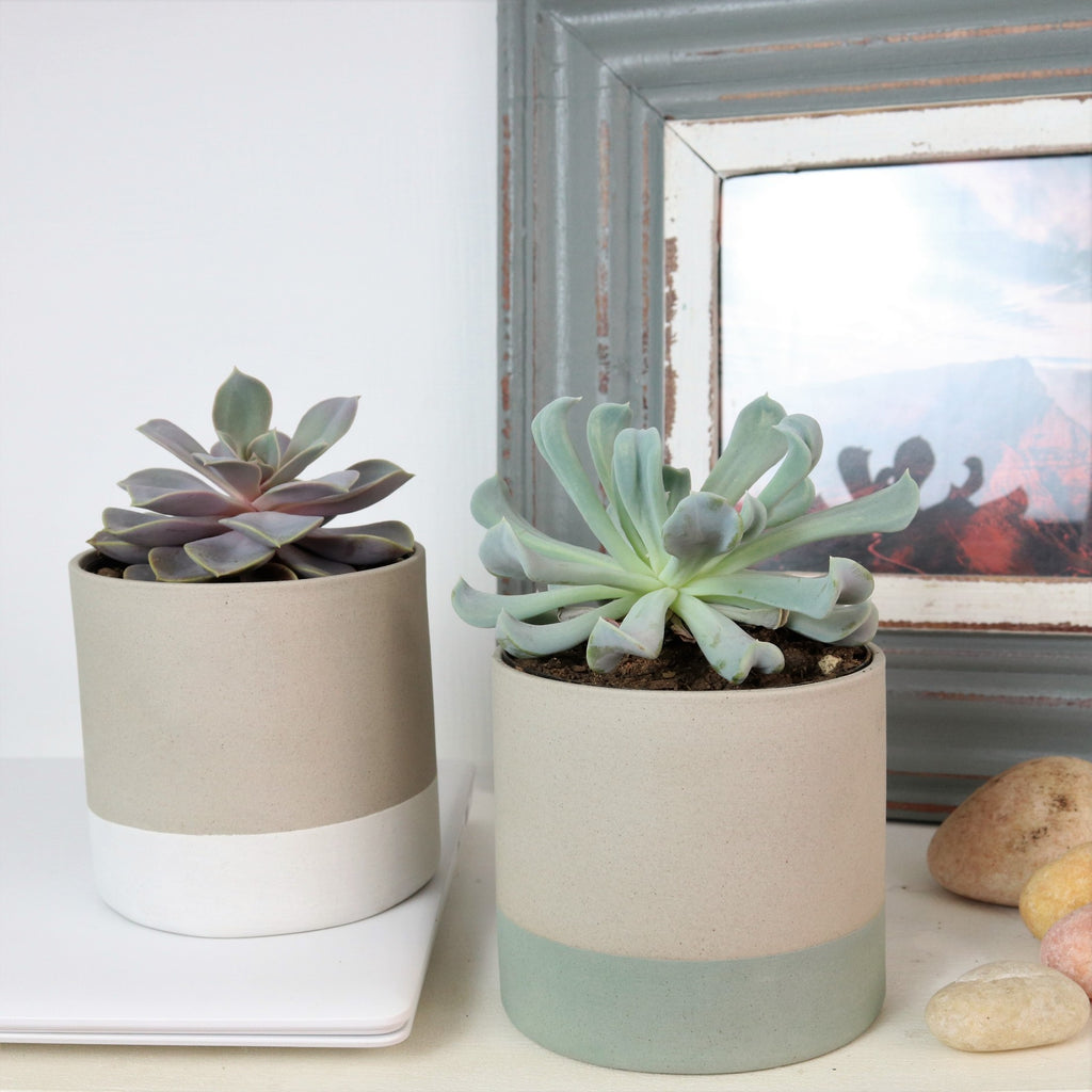 Echeveria Purple Pearl in ceramic tumbler