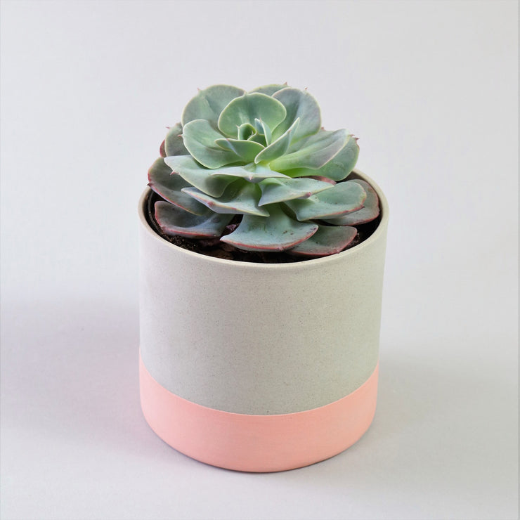 Echeveria Blue Rose in ceramic tumbler