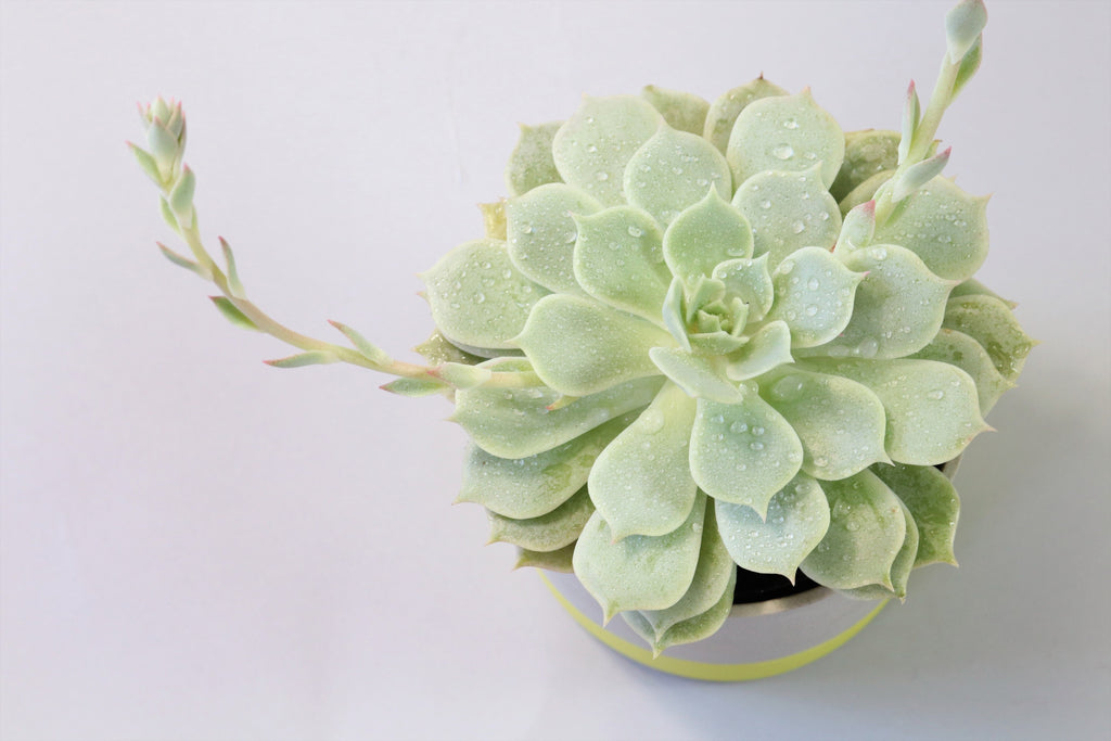 Echeveria Ghost in ceramic tumbler