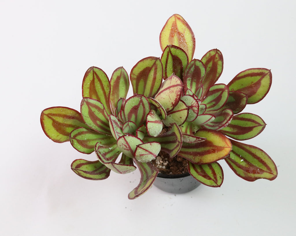 Painted Echeveria