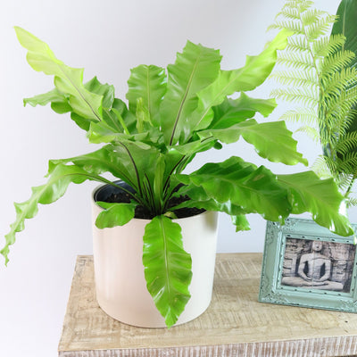 [Bird's Nest Fern Large]