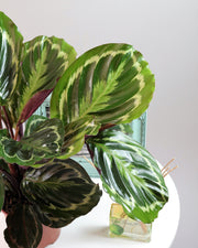 [Rose Painted Calathea]