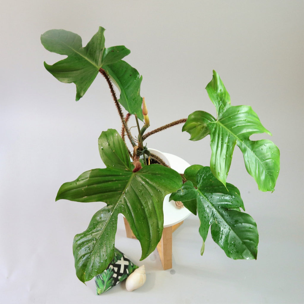 [Red Bristle Philodendron]