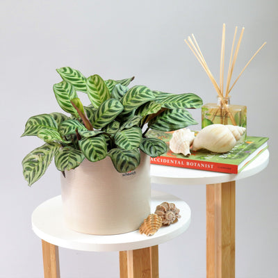 [Calathea Prayer Plant]